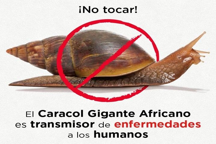 Infografía-sobre-el-caracol-gigante